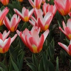 Tulipa 'Heart's Delight'