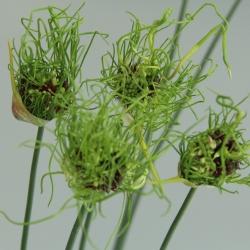 Allium 'Hair'®