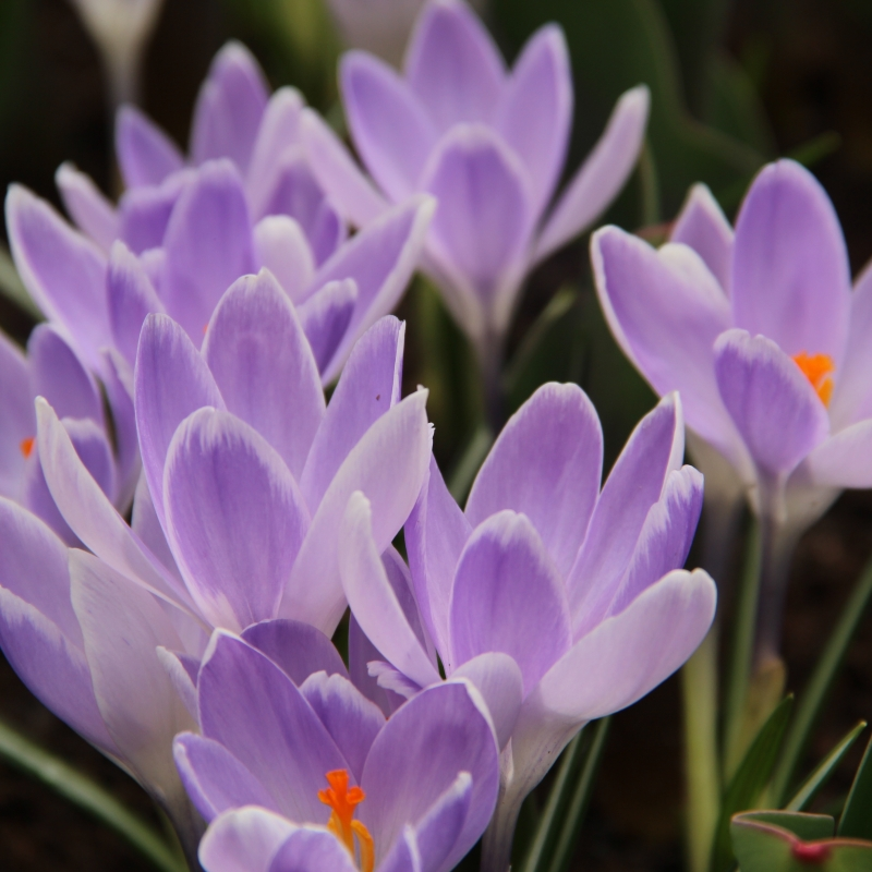 Crocus vernus vanguard large flowering crocus with two different shades of pale blue flowering time march april height 15 20 cm mightylinksfo