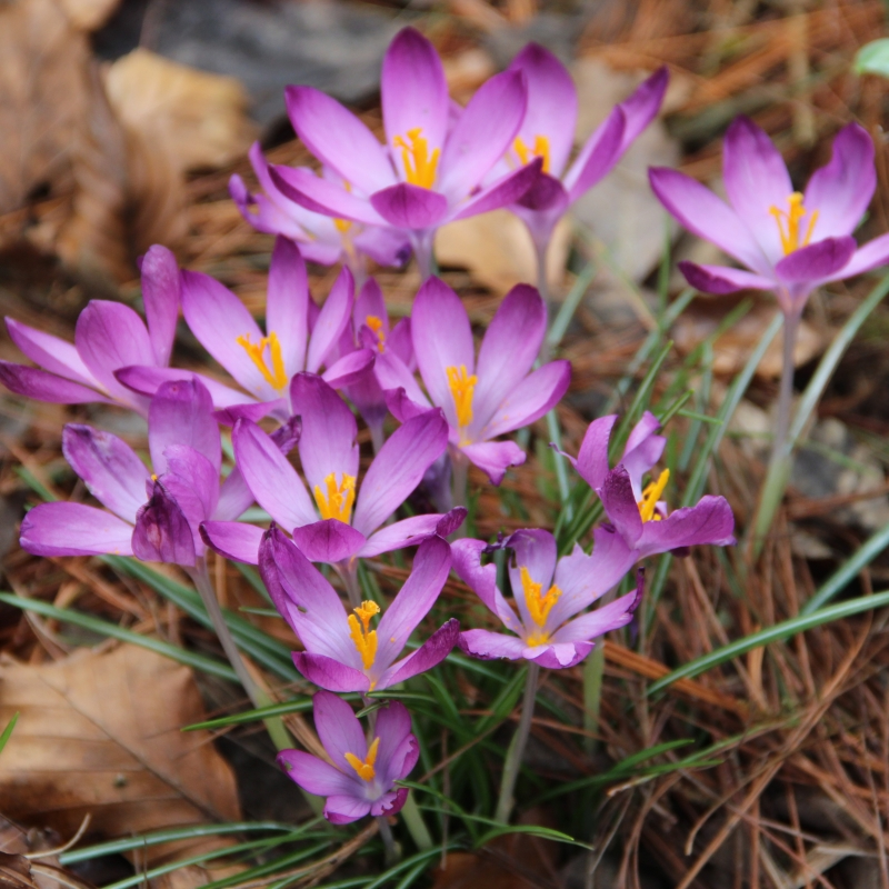 Crocus tommasinianus barrs purple small flowering crocus violet pink flowering time march april height 10 15 cm mightylinksfo