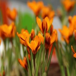 Crocus balansae 'Orange...