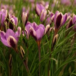 Crocus minimus 'Spring Beauty'