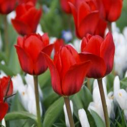 Tulipa 'Showwinner'