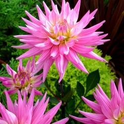 Pink Corona