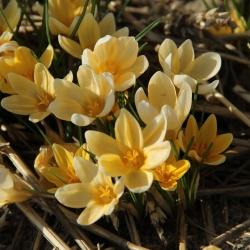 Crocus chrysanthus 'Romance'