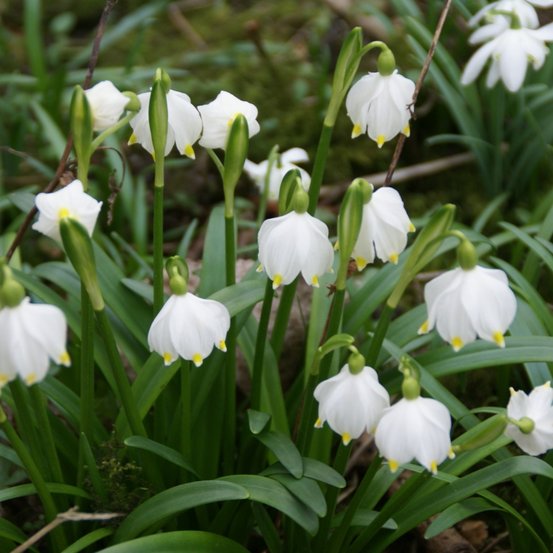 Leucojum vernum summer snowflake or loddon lily pending bell shaped flowers white with green dots the bulbous flower resembles the well known snowflake but is larger mightylinksfo