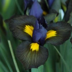 Iris hollandica 'Tigereye'®