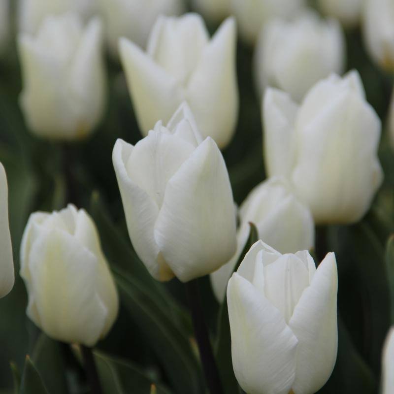 tulipe white prince