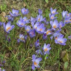 Crocus speciosus ssp....
