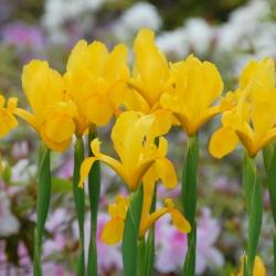Iris hollandica 'Golden...