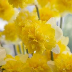 Narcissus 'Full House'