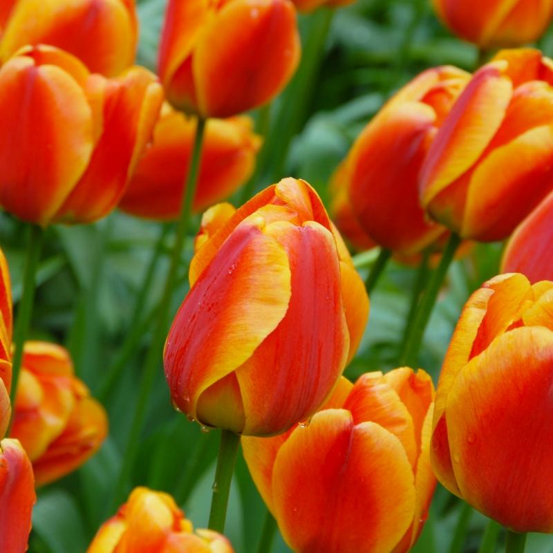 Tulipa apeldoorn elite orange red edged yellow flowering in late april early may height 40 50 cm mightylinksfo