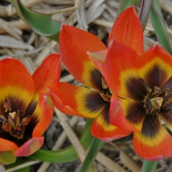 Tulipa 'Little Princess'