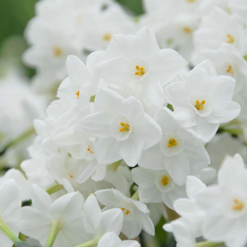 Narcissus \'Paperwhite Inbal\'