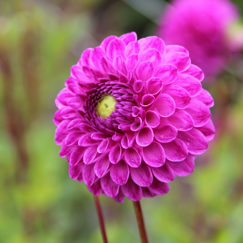 Dahlia julio fully filled spherical flowers dark pink flower size 15 20 cm height 90 120 cm very suitable as a cut flower mightylinksfo