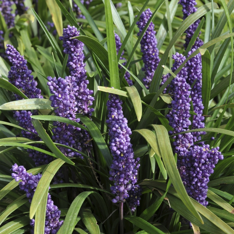 Perennial With Gry Foliage And Spike Shaped Flowers Resembling Muscari Grape Hyacinth Reliable Flowering Selection Violet Purple Spikes