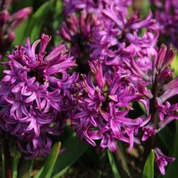 Hyacinthus 'Purple Sensation'
