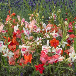 Gladiolus nanus -mix-