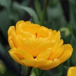 Tulipa 'Yellow Pompenette'