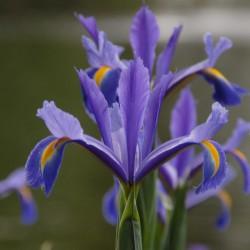 Iris hollandica 'Discovery'®