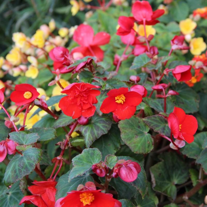 Begonia multiflora 'Flamboyant'