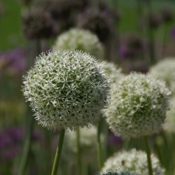 Allium altissimum 'Album'