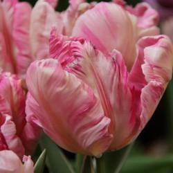 Tulipa 'Silver Parrot'®