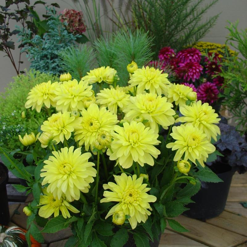 Dahlia melody latin bright yellow flowers decorative type flower size 10 cm green foliage mightylinksfo