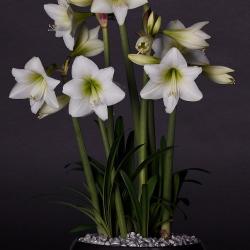 Hippeastrum 'White Garden' ®