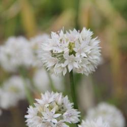 Allium amplectens 'Graceful...